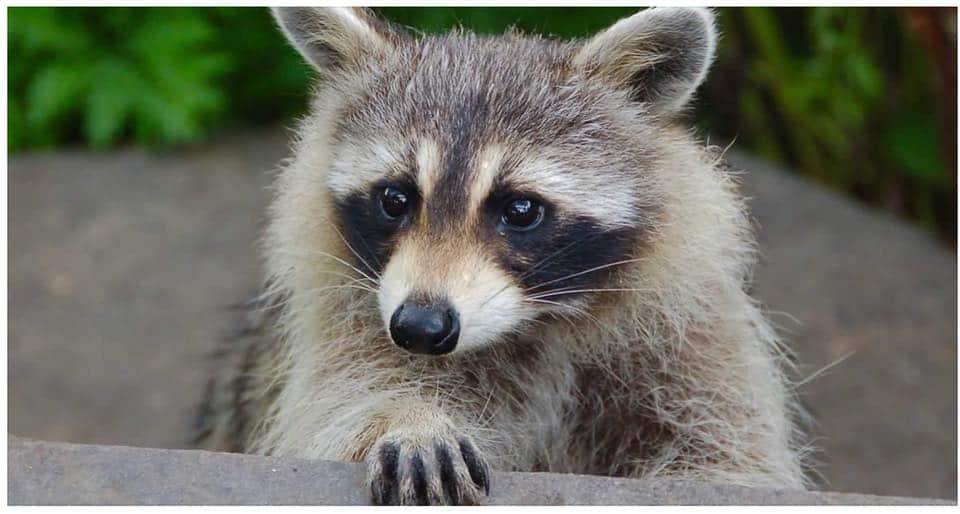 صورة غرامة تصل إلى ٧٥٠ دولاراً لمن يطعم حيوان الراكون في مونتريال